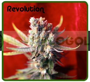 Revolution (Reggae Seeds) Regular 0
