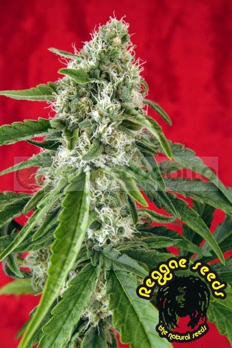 Dub (Reggae Seeds) Regular 0