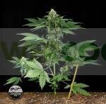 Semillas de Marihuana Roadrunner Autoflowering Autofloreciente de Dinafem. 0