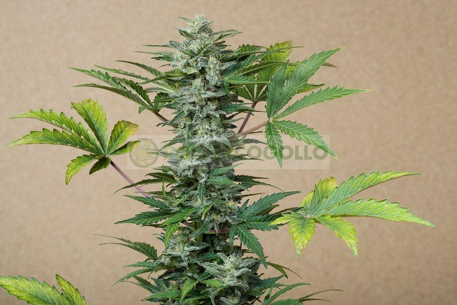Semillas de Marihuana Roadrunner Autoflowering Autofloreciente de Dinafem. 1