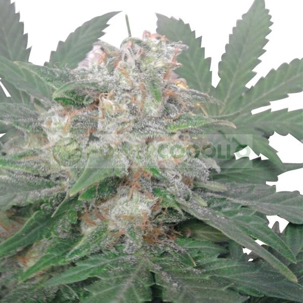 Royal Bluematic (Royal Queen Seeds) Semilla 1