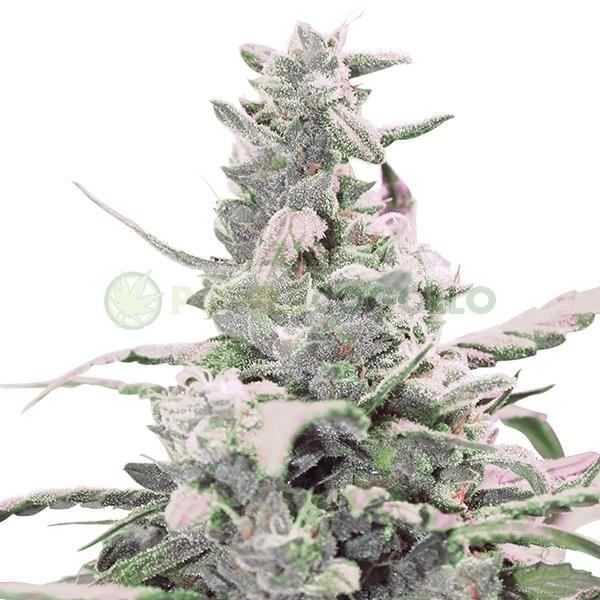 Royal Creamatic (Royal Queen Seeds) Semilla Autofloreciente cannabis-marihuana Feminizada 1
