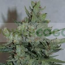 Royal Dwarf Autofloreciente (Royal Queen Seeds) 0