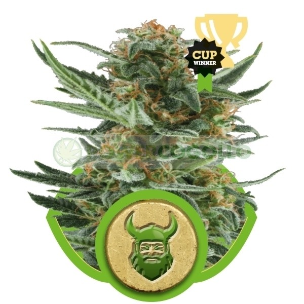 Royal Dwarf Autofloreciente (Royal Queen Seeds) 1