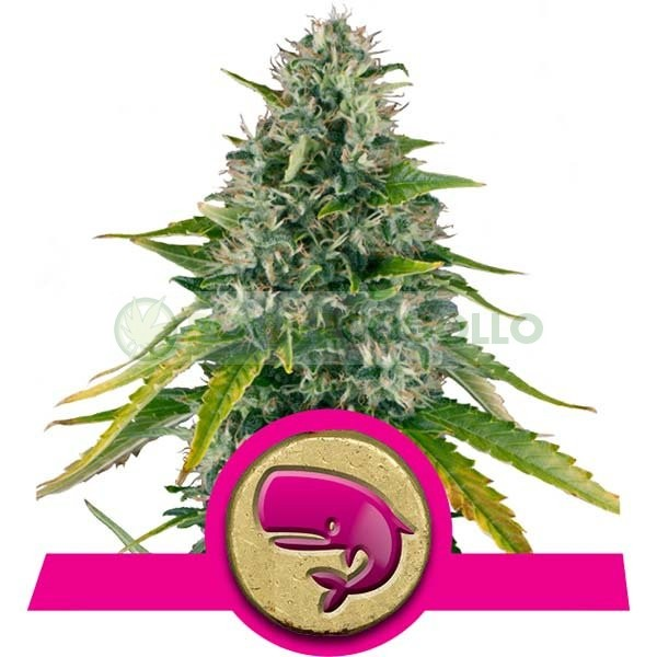 Royal Moby (Royal Queen Seeds) 1