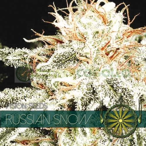 Russian Snow Vision Seeds  2