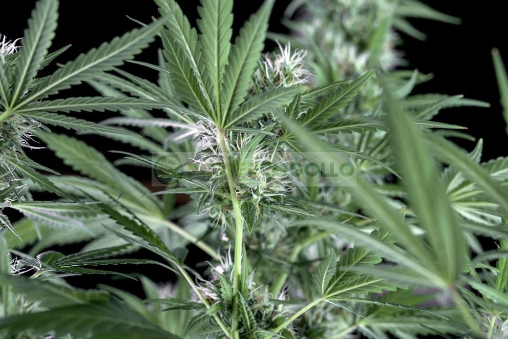 Santa Bilbo (Genehtik Seeds) 1