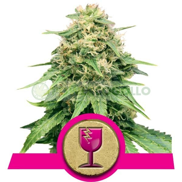 Critical (Royal Queen Seeds) Feminizada 2