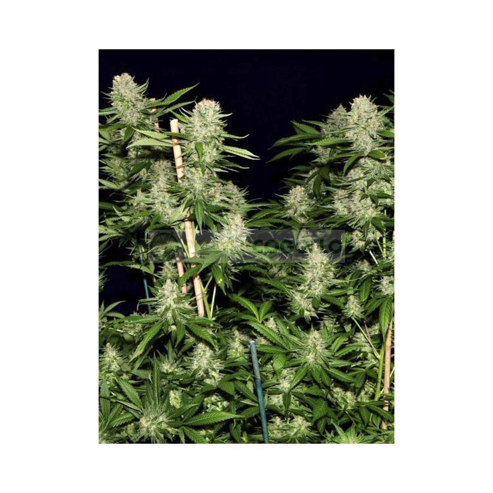 Semilla feminizada Veneno (EVa Seeds)  1
