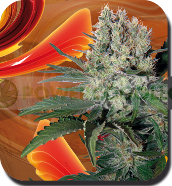 Semilla Syrup Automatic de Buddha Seeds Feminizada Autofloreciente Cannabis 0