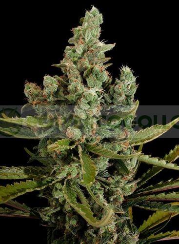Semillas de marihuana Cheese de Dinafem 100% Feminizadas 2