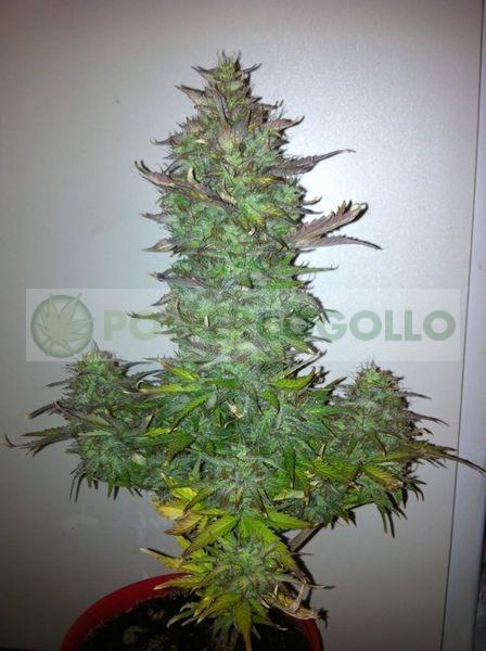 Semillas de Marihuana Fruit Autoflowering Autofloreciente 1