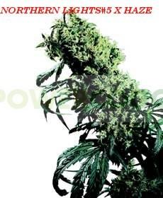 Semillas de Marihuana Northern Lights #5 x Haze Regular (Sensi Seeds) Este híbrido es el superlativo del cultivo de cannabis actual. El resultado: una planta de enorme potencia con un clímax extremo de Sativa.  En los Festivales de Cosecha de principios d 1