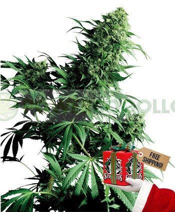 Shiva Shanti (Sensi Seeds) Regular 1