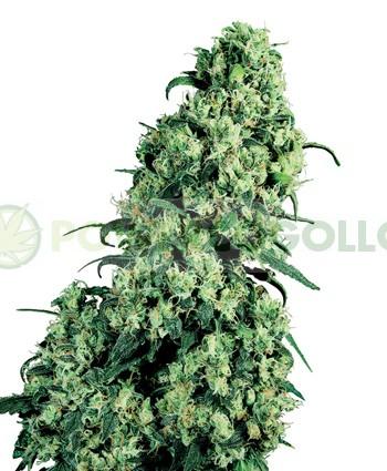 Semilla de marihuana Skunk #1 F 1