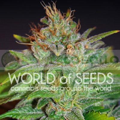 Skunk 47 (World of Seeds) Feminizada 1