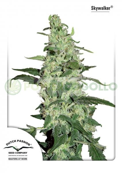 Skywalker Feminizada (Dutch Passion Seeds) 0