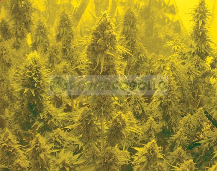 Auto Somachigun (Biohazard Seeds)  2