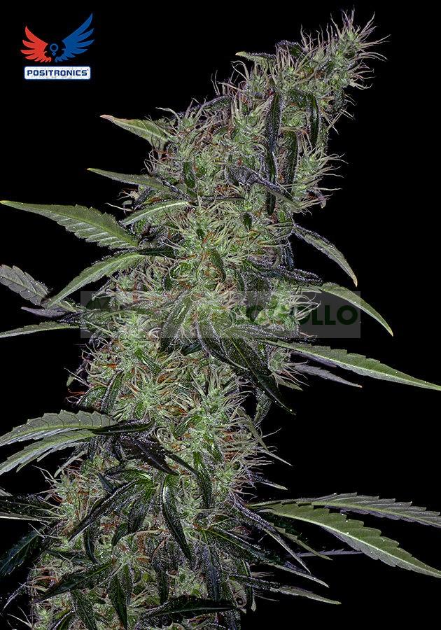 Somango#47 (Positronics Seeds) Semilla feminizada Cannabis-Marihuana 1
