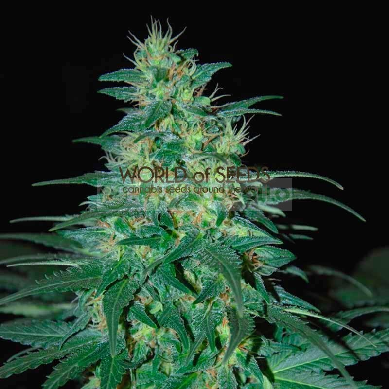 South African Kwazulu (World of Seeds) Regular 1