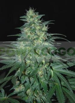 South African Kwazulu (World of Seeds) Regular 0