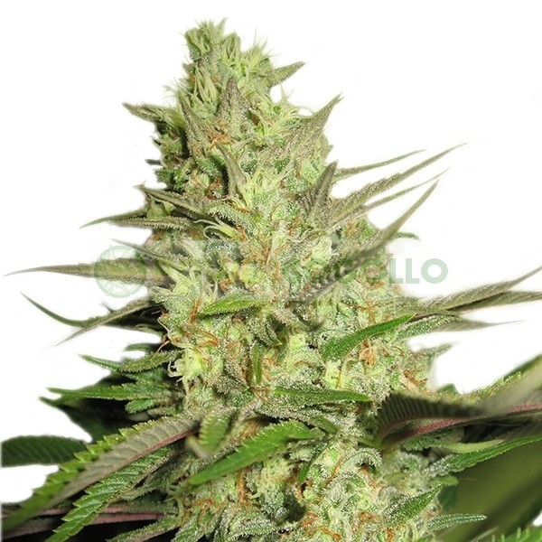 Special Queen #1 (Royal Queen Seeds) 1