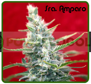 Sra. Amparo (Reggae Seeds) Semilla Feminizada 0