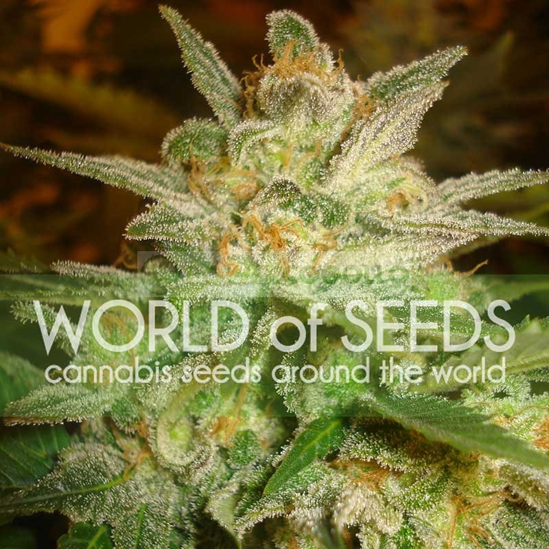 Star 47 (World of Seeds) Feminizada 1