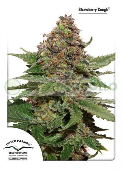 Strawberry Cough Feminizada (Dutch Passion Seeds)  Una planta de gran producción con alto valor medicinal.  Criada por su potencia eufórica, anti-ansiedad, esta mayoritariamente Sativa (aprox. 75% Sativa, 25% Indica) produce una experiencia confortable, a 0