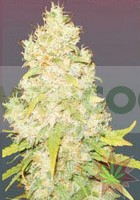 SUGAR BLACK ROSE REGULAR DELICIOUS SEEDS 0