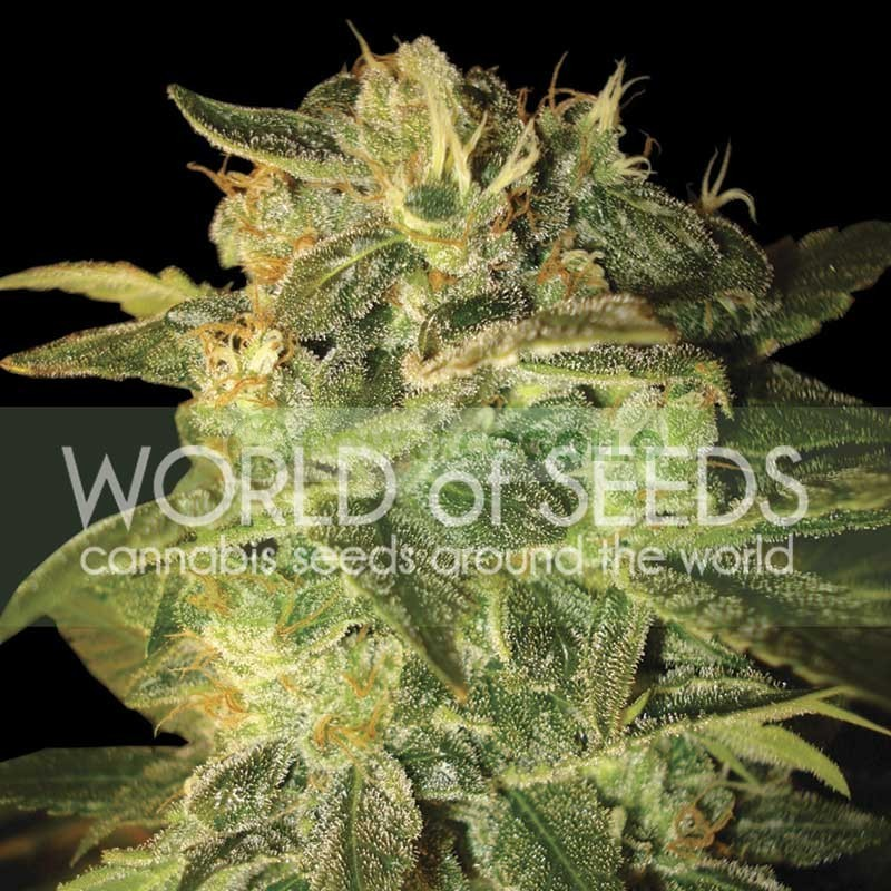 Sugar Mango Ryder Auto (World of Seeds) 1