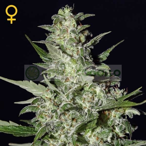 Super Critical Auto (Greeen House Seeds) Semilla 1