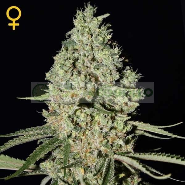 Super Critical (Greeen House Seeds) Semilla 1