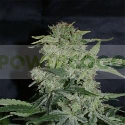 Super Hash (Pyramid Seeds) Semilla Marihuana Feminizada con mucha resina 0