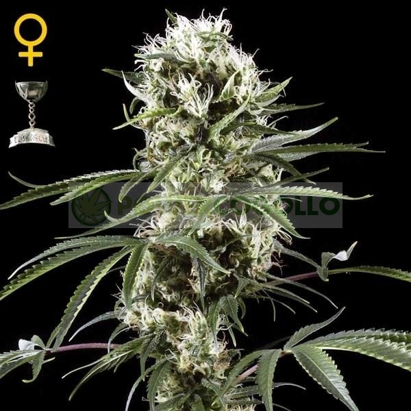 Super Lemon Haze (Green House Seeds) 1