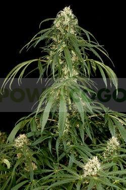 Semilla cannabis Super Silver (Dinafem Seeds) 1