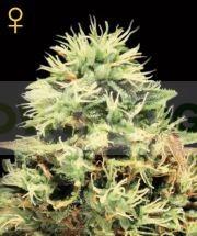 Super Bud (Greeen House Seeds) Semilla Cannabis Feminizada Barata 0