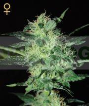 Super Critical (Greeen House Seeds) Semilla 0