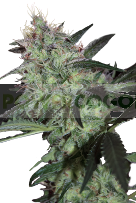 Super Diesel (SeedMakers) 0