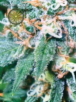 Super Skunk Vision Seeds Semilla Feminizada Marihuana 0