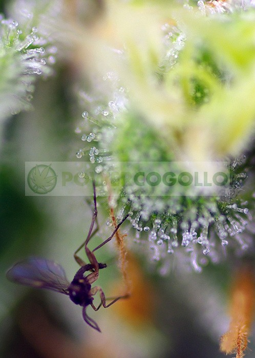 Sweet-Amnesia-Haze-XL-Auto-Feminizada-Sweet-Seeds 1