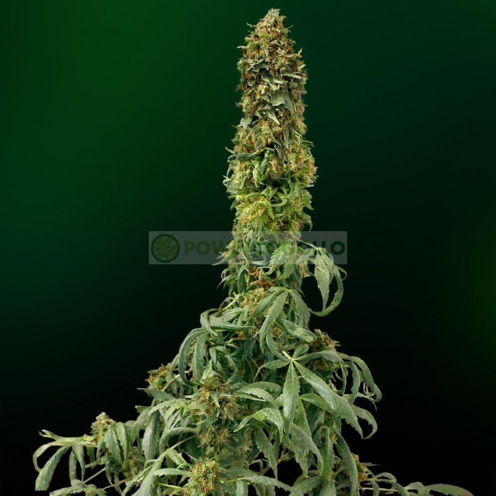 Sweet Tooth Autofloreciente (Barney´s Farm Seeds) Semilla 0