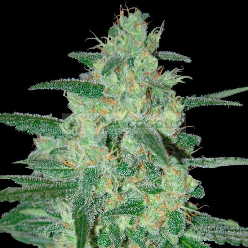 Sweet Black Angel (Samsara Seeds) 1