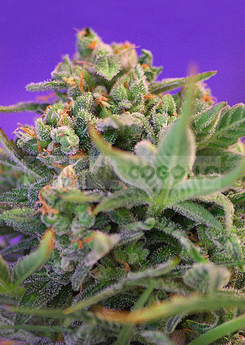 Sweet Cheese (F1 Fast Version) Sweet seeds Semilla Feminizada Cannabis 1