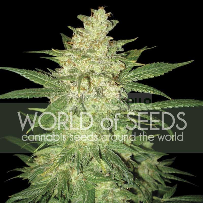 Sweet Coffee Ryder Auto (World of Seeds 1