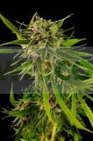 Sweet Deep Grapefruit (Dinafem) semilla feminizada marihuana 0