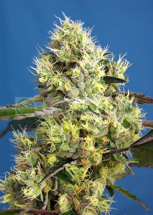 Sweet Gelato Auto (Sweet Seeds) 1