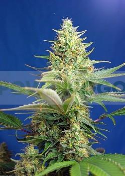 Sweet Pure Auto CBD (Sweet Seeds). Encuentra las mejores Semillas Feminizadas de Marihuana en nuestros GrowShop Dr. Cogollo - PowerCogollo.com tu Grow más Barato  y con el transporte incluido en envíos superiores a 50€ (Envíos y Devoluciones).  Sweet Pure 1