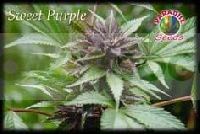 Sweet Purple Feminizada (Semillas) 0