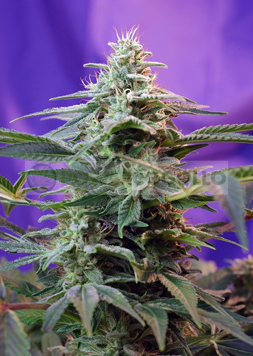 Sweet Special (F1 Fast Version) Sweet Seeds Semilla Feminizada Cannabis 1